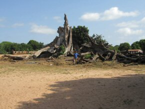 remains of the cotton tree