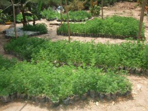 Artemisia plants ready to go to the villages