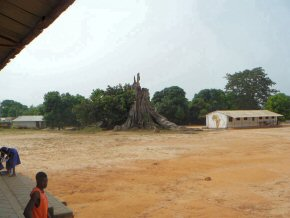 The elephant tree brought down by a storm a few years ago at Albreda Lower Basic