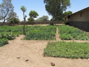 healthy crops of vegetables in the school garden