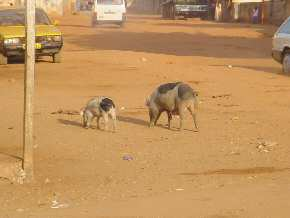 pigs in the street