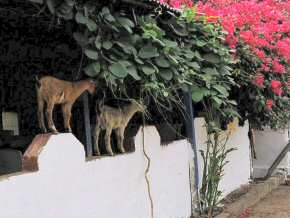 goats on the café wall