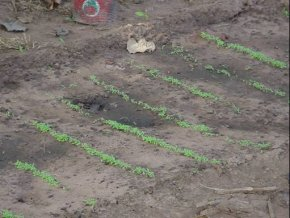 the plot showing the first few rows of seedlings, just a few centimetres high