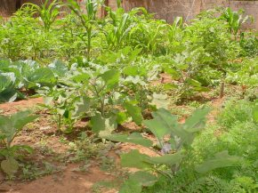 more green vegetables at Bakau New Town school