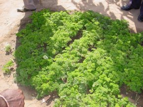 parsley - grown for the first time at Sinchu Baliya